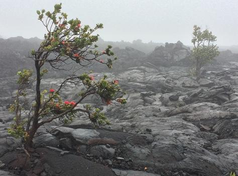 ohia-rain-lava